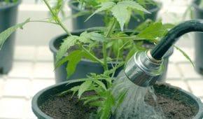 עבירת גידול סמים – משמעותה והעונש בצידה